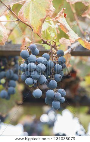 Bunches Of Grapes At A Vineyard #7