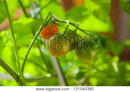 Cherry tomatoes in different colors and stages of growth growing on a vine of plant. Sunny day. Selective focus. Horizontal.