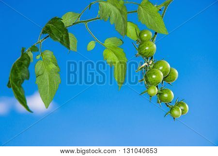Branch of unripe cherry tomatoes growing on a vine against blue sky. Horizontal.