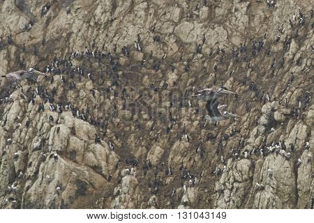 Peruvian Pelicans (Pelecanus thagus) flying past a cliff packed with seabirds on the coast of northern Chile.
