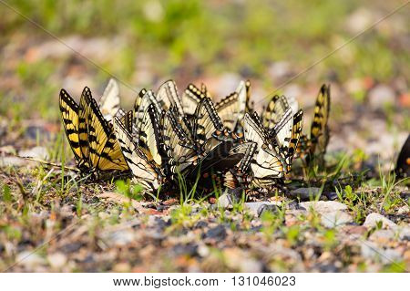 Large group of puddling Eastern Tiger Swallowtail butterflies (Papilio glaucus)