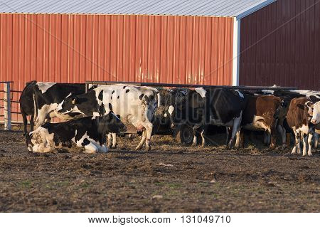 A group of Holstein dairy cows next to a barn