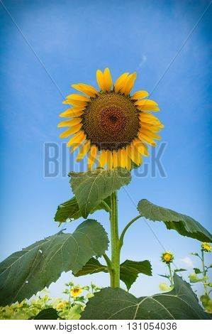 close up of sunflower on blue sky background