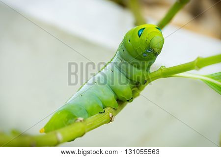 close up of green caterpillar on branch