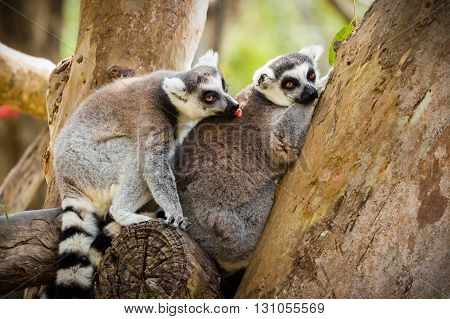 close up of lemur sitting on a tree