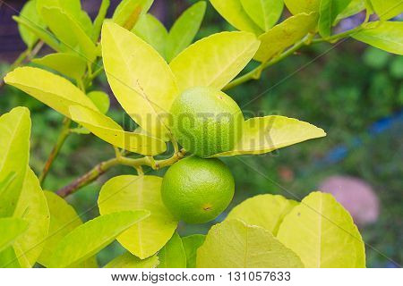 Lime trees and green branches in the backyard garden of Lime with Lime filled.