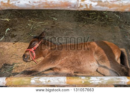 A Foal In The Stable At Rest.