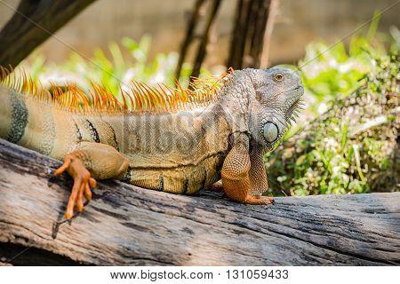 close up of green iguana on wood