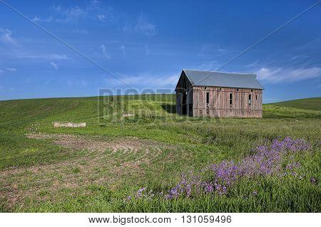 An old barn in a green field in the palouse region of eastern Washington.