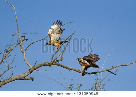 One red-tailed hawk scares off another on a branch.
