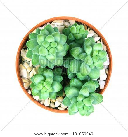 Sedum burrito Moran the succulents plant in pot on white background overhead or top view