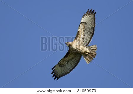Hawk soaring in the sky. A pretty red-tailed hawk soars in the bright blue sky.