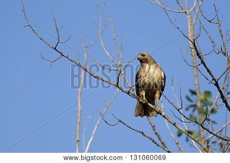 Hawk on small branch. A majestic red-tailed hawk is perched on a tree on a clear day.