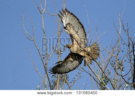 Hawk takes flight. A red-tailed hawk takes flight off a branch.