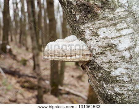 Shelf Fungus On Birch In Forest.