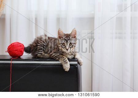 Kuril Bobtail kitten. Ball of yarn. Thoroughbred cat. Cute and funny kitten. Pet.