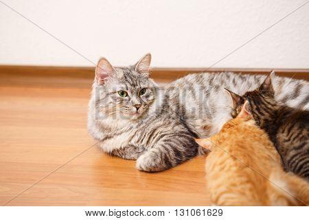 Kuril Bobtail cat feeding kittens. Thoroughbred cat. Cute and funny kitten. Pet.