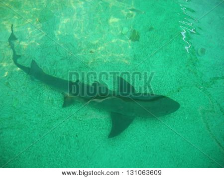 Small gray shark in the water tank.