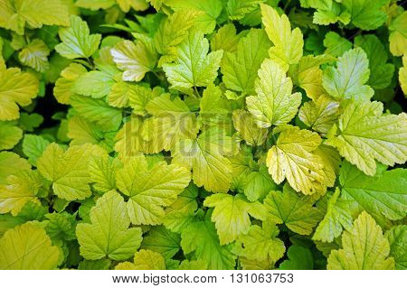 Beautiful spring yellow and green leaves for background