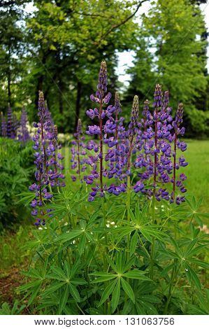 Beautiful purple lupine flowers during a rainy spring day