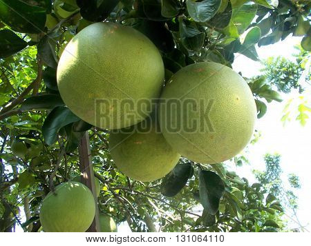 Old grapefruit or pomelo hanging on the grapefruit tree on the grapefruit garden