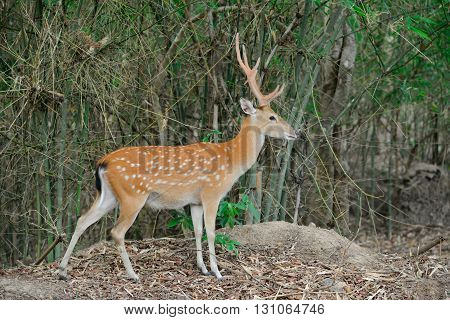 Sika Deer In Forest