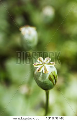Opium poppy in the field, norther of Thailand.