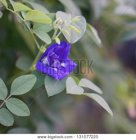 Blue butterfly pea flower is blooming in tree in the evening.