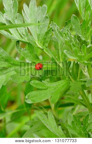 Ladybug on a green leaf. Bright red insect in grass. Small ladybird nature. Ladybug insect the beetle. Natural beauty