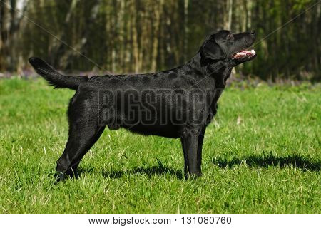 Black dog breed Labrador is in full growth in summer on the grass