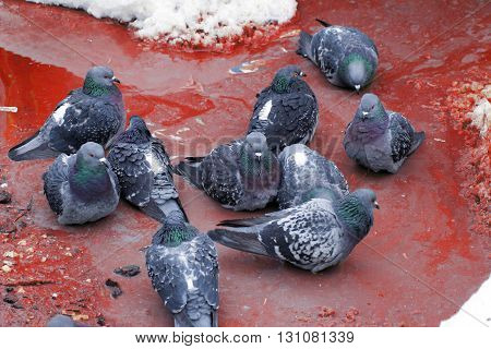 Pigeons sitting in a muddy puddle red color among the snow