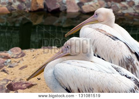 Two pink Pelican (white birds) with long beaks sit near the water (Latin: Pelecanus onocrotalus; class birds; squad pelecanoididae; family pelikanova)