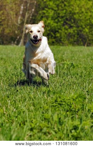 Young happy dog Golden Retriever with joy quickly runs across the grass front view