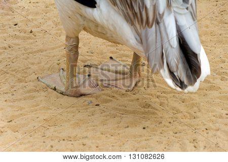 Tarsi white-black Pelican standing on yellow sand (bird)