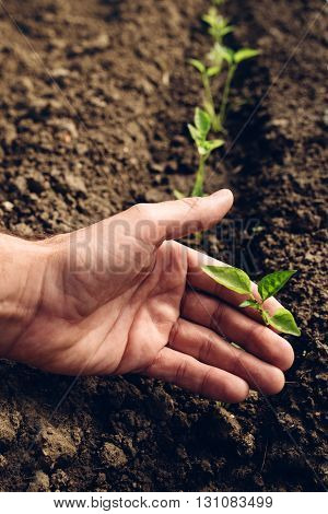 Farmer controlling growth of pepper plants in vegetable garden homegrown organic food production selective focus