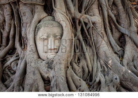 Ancient Buddha Head inside the tree at Mahathat Temple Ayutthaya historical park thailand.