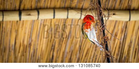 Red Headed Weaver Bird