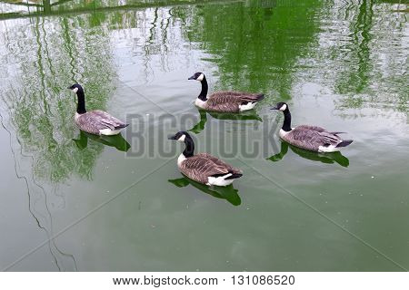 Four (4) the Canada goose (bird duck) floating on the green water (Latin: Branta canadensis; class birds; squad anseriformes; family duck)