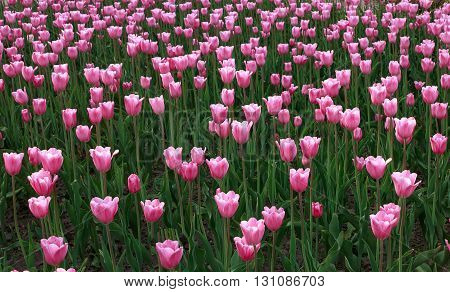 Infinity of pink tulips in city park