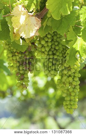 Bunches Of Wine Grapes On The Vine..