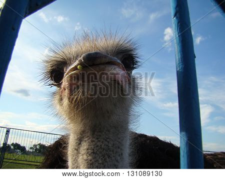 African ostrich is the largest flightless bird