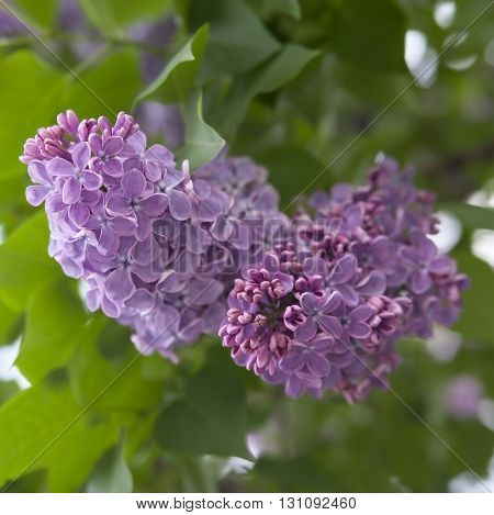 Lilac Flowers On A Background Of Green Foliage..