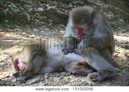 Kyoto Japan - October 23: Close up of friendly monkey preening friend for ticks and dirt to help him stay clean in Arashiyama Park