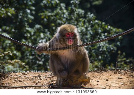 Kyoto Japan - October 23: Front view of Monkey in Arashiyama Park