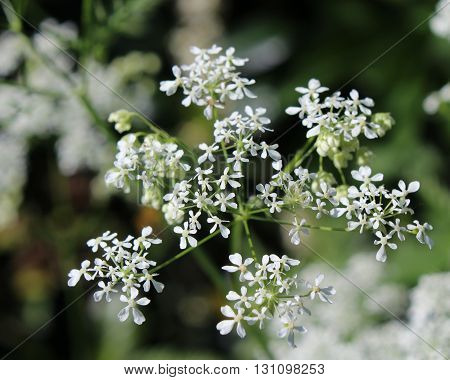 The dainty white flowers of Daucus carota also known as Wild Carrot or Queen Annes Lace.