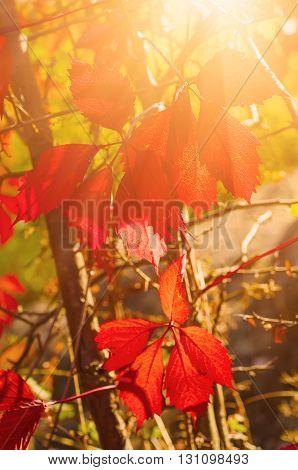 Wild grape red leaves, natural seasonal autumn vintage background