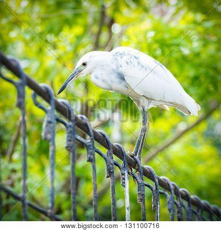 white Snowy Egret on iron bridge in park