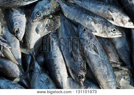 Tuna Eastern little tuna Thunnini Longtail tuna Northern bluefin tuna