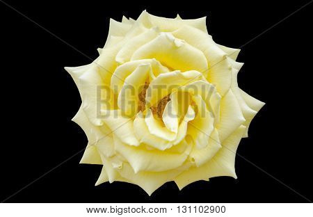 Close up of yellow rose (Rosaceae) over black background