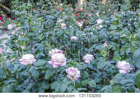 Field Of Pink Rose (rosaceae) In The Garden.
